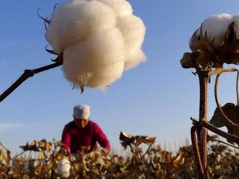 新疆农民在采摘棉花。