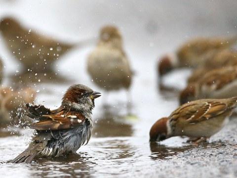 麻雀和人类生活紧密共存,当麻雀消失了,环境警讯悄然浮现。